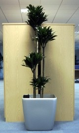 Live Dracaena Compacta Display