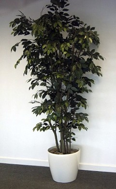Green Ficus Tree